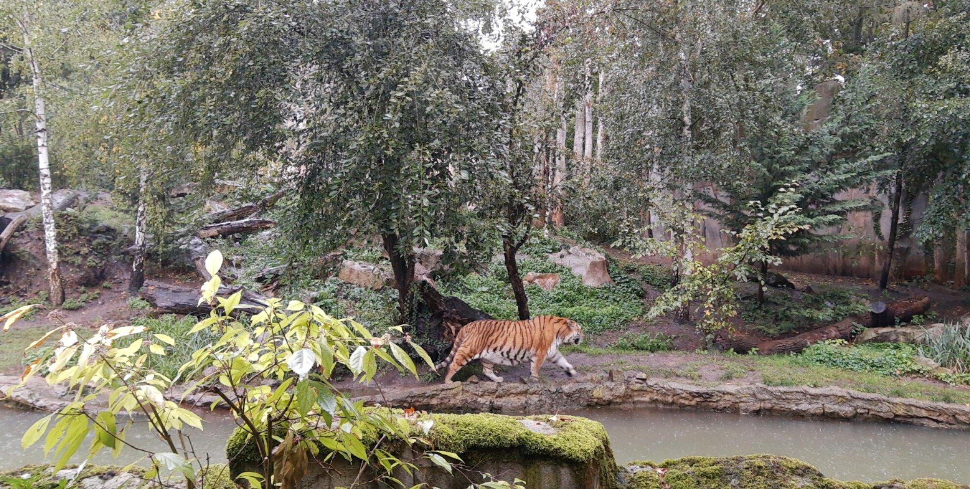Tiger im Gehege | Leipziger Zoo© SK
