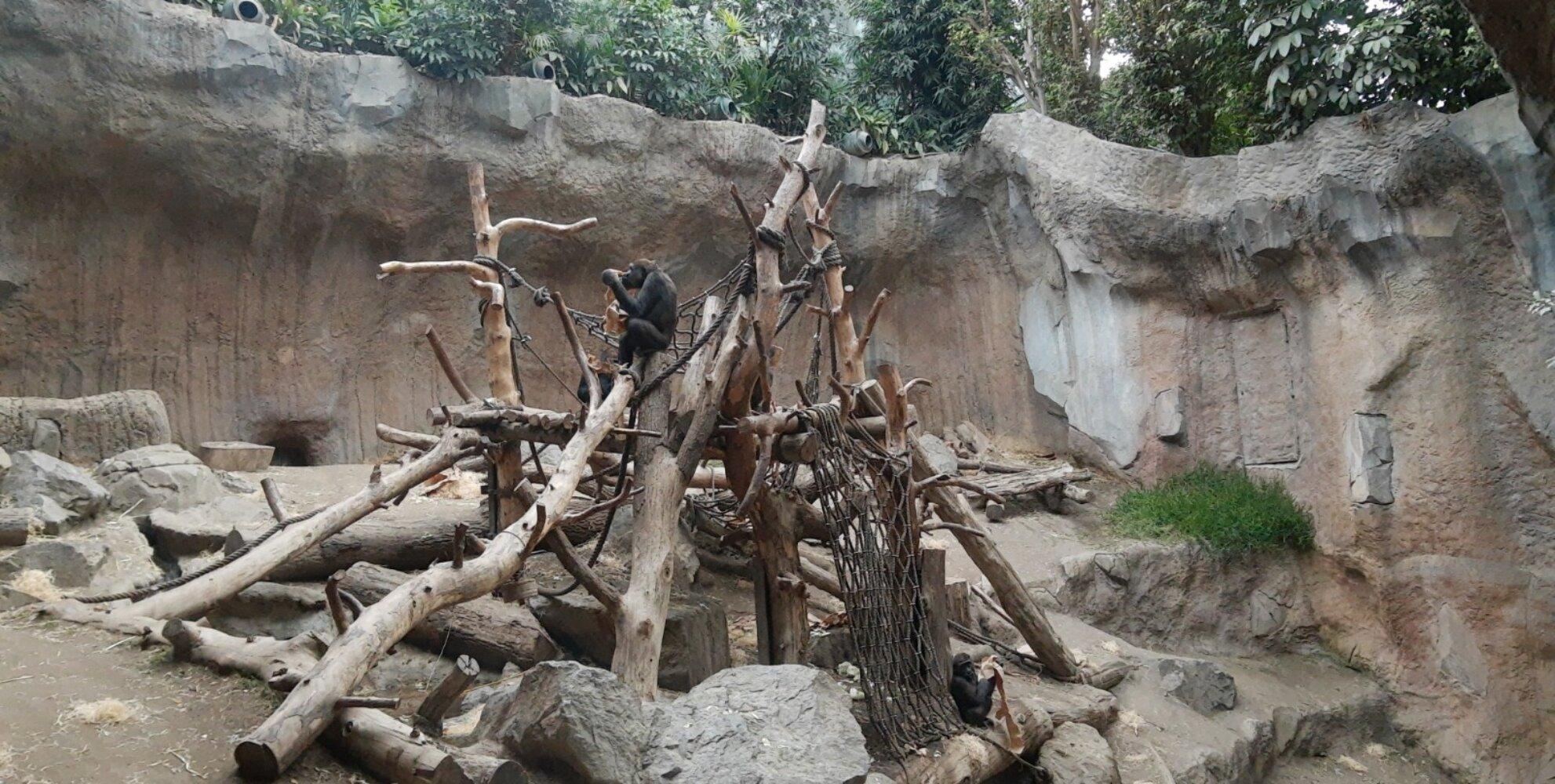 Menschenaffe| Schimpanse  im Gehege  des Leipziger Zoos|© SK